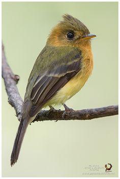 Tufted Flycatcher - Mosquerito-Moñudo Común (Mitrephanes phaeocercus)