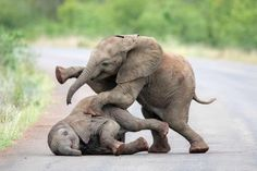Baby elephants engage in a bit of rough play at Kruger national park, South Africa, photograph by Inez Allin-Widow. Cute Baby Elephant, Cute Baby Animals, Animals And Pets, Funny Animals, Baby Elephants, Wild Animals, Giant Animals, African Elephant, African Animals
