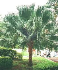 Verdant Tree Farm | Medjool and Mexican Fan Palms | Products