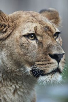 Close-up portrait of a majestic lioness (Panthera Leo) in nature Poster Mundo Animal, My Animal, Beautiful Cats, Animals Beautiful, Animals And Pets, Cute Animals, Lioness Tattoo, Lions Photos, Gato Grande
