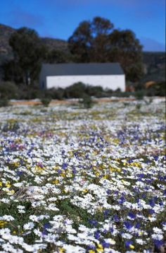 of the Best Places to See Spring Flowers in South Africa Wild Flowers in South AfricaWild Flowers in South Africa Spring Flowers, Wild Flowers, Wildwood Flower, South Afrika, Beautiful Flowers Pictures, Out Of Africa, Beaches In The World, Most Beautiful Beaches, Trees To Plant