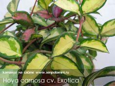 Hoya_carnosa_Exotica.jpg (500×375)