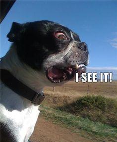 boston terrier meme