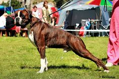 brindle boxer! one of my favorite breeds