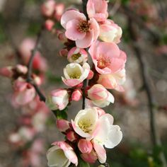 Buy flowering quince Chaenomeles speciosa Moerloosei - Wonderful white flowers blushing pink: 2 litre pot: Delivery by Crocus Cottage Garden Design, Cottage Garden Plants, Cottage Gardens, Landscaping Tips, Garden Landscaping, Small Flowers, White Flowers, Chaenomeles, Trees And Shrubs