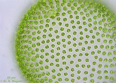 Volvox aureus es una especie de algas verdes de la familia Volvocaceae. http://es.wikipedia.org/wiki/Volvox_aureus