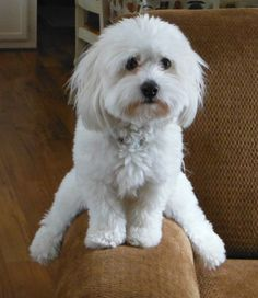 Hello my name is Oliver and I'm Coton de Tulear, one of the funniest dog breeds. I keep my family entertained!