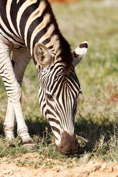 Close up of a Zebra eating grass Close up of a Zebra eating grass in the field.