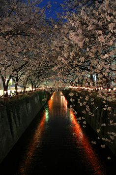 Cherry tree in full bloom, Meguro River, Tokyo