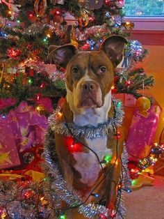 30 Dogs Who Think They're Christmas Trees.  Glad I'm not the only one with a weird desire to decorate my hound for Christmas!