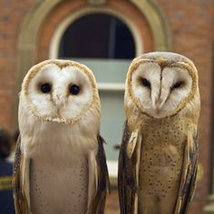 Barn Owl (Tyto alba) Onyx (on the left) is a British male Barn Owl. Crystal (on the right) is a European Barn Owl. - Charles Welch