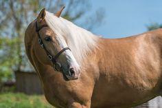 (94) Grain de Pixel - Photographie Equestre - Photos Big Horses, Horse Love, Palomino, Horse Photos, Pixel, Beautiful Horses, Animal Kingdom, Cute Animals, Creatures