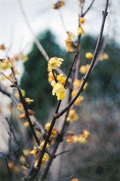 Fragrant Wintersweet (Chimonanthus praecox) at Atlantic Avenue Orchid & Garden