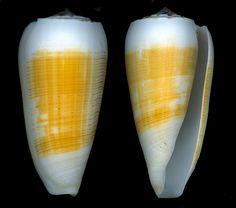 Conus magus   Linnaeus 1758     (Image from Paul Kersten)