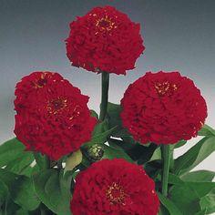Zinnia Oklahoma Scarlet flowers on long, strong stems. Fantastic cut flowers.
