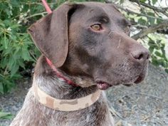 381 Best Gsps That Need Rescue Adoption Images German Shorthaired Pointer Adoption Dogs