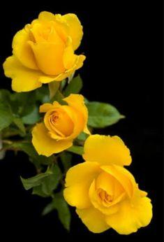 428 Mejores Imágenes De Flores Rosas Amarillas Yellow Yellow