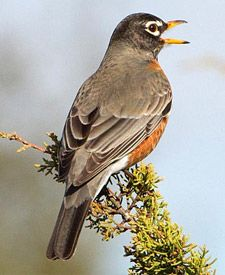 Robin Ledge Plans!!  Spring is right around the corner!!                American Robin