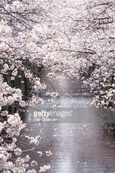 Stock Photo : Cherry tree on the river