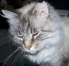 Life Time Bliss is an adoptable Ragdoll Cat in Lee's Summit, MO. Life Time Bliss is a very good natured Seal lynx poitn ragdoll. Classicly laid back. Gentle natured. And enjoys the company of everybod...