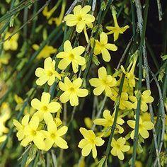 Winter Flowering Jasmine Climber Plant Wall Trellis Climbing Flower Native Shrub #JasmineNudiflorum #Custom