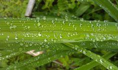 Caen líquidas Como gotas de lluvia, que al llover, caen de las nubes así caen tus lágrimas, al llorar, éstas...