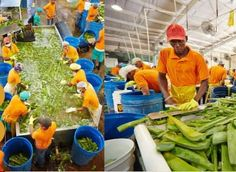 Fresh Aloe Vera being processed! Forever Living Products.