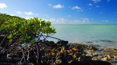 Bell Sound Mangrove