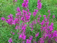 Kattenstaarten van tuincentrum nog in bloei maar uiteindelijk uitgedroogd