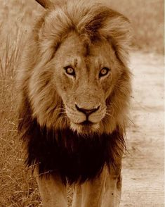 Wild Lion, Kruger National Park, Lynx, Sands, Beautiful Cats, Kitty Cats, Big Cats, Tigers, Clarity