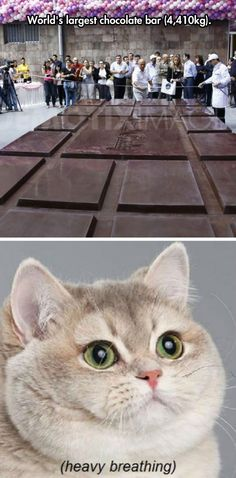 Holy Giant Chocolate Bars. I like the parenthesis of heavy breathing Can't Stop Laughing, Laughing So Hard, Funny Cats, Funny Animals, Animal Funnies, Funny Images, Funny Photos, Funny Pix, Love Chocolate