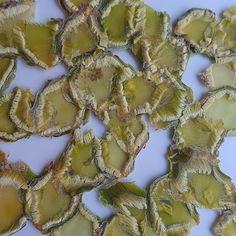 Stronk van spruitkool. Door drogen en persen van het materiaal worden de vezels goed zichtbaar. Het willekeurig neerleggen van de stukjes spruitkool (voor het persen) zorgt voor een mooi en onregelmatig patroon. #angeliquevandervalk #vegetableworks #art #abstractart #experiment #pattern #vegetable #brusselssprouts #photography #green #eco #biodegradable #irregular #ecoart #detail #closeup #material #waste #vegetablewaste