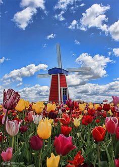 Woodburn Tulip Festivale