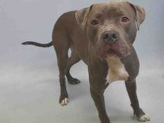 TO BE DESTROYED 01/16/16   **RESCUE ONLY** NEW HOPE RESCUE is needed for MAKS because his former owners left him at the ACC when they should have consulted a trainer. This handsome guy has lived happily with kiddos of many ages, and has been a best friend to those he loves. He started experiencing