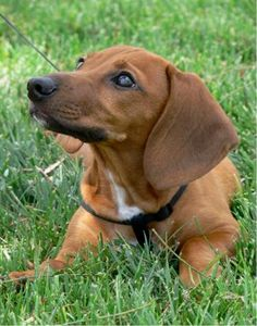 I will have a Dachshund again someday.