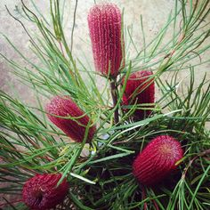Growing and arranging beautiful Australian Native Flowers and all things Proteaceae. Australian Garden Design, Australian Native Garden, Australian Native Flowers, Australian Plants, Australian Bush, Tropical, Australian Wildflowers, Flower Farm, Cool Plants