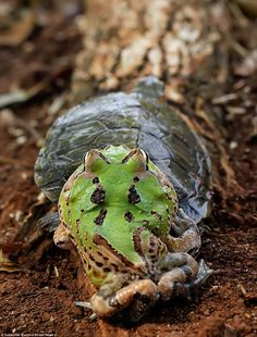 I'm off! The frog had clearly had enough and decided instead to clamber off the back off the slow-moving tortoise