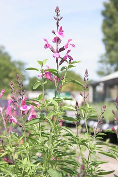 July Plant of the Month: Salvia (Icing Sugar). A diverse group of plants ranging from annuals to herbaceous perennials, evergreen perennials and herbs. It is free flowering, making a great colourful display in borders during July until frost during which time it is good at attracting butterflies and bees. Salvias are a sun-loving plant, so grow in full sun. Soils need to be well-drained and moderately fertile.