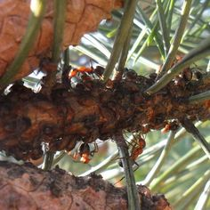 Bladluizen scheiden een zoete vloeistof af, dat we honingdauw noemen. Het zoete goedje is een belangrijke voedselbron voor bosmieren. De mieren zetten de luizen in het voorjaar bij elkaar en beschermen ze tegen vijanden.