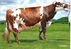 Red Holstein Cow | Vote: Crossbred Cow of the Year 2013
