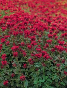 Bee Balm Panorama Red Shades - Perennial Flowers  Panorama Red Shades bee balm is the first separate color from Panorama Mix. Plants are extremely resistant to powdery mildew. Winter hardy to zone 3. Grow Panorama Red Shades bee balm with Chinese fountain grass,  Russian sage, and  Benary's Giant White zinnia.