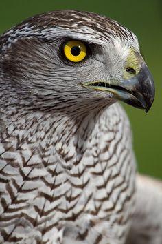 Accipiter gentilis - Northern Goshamwk Raptor Bird Of Prey, Birds Of Prey, Beautiful Birds, Animals Beautiful, Northern Goshawk, Wild Creatures, Marquetry, Totems, Colorful Birds