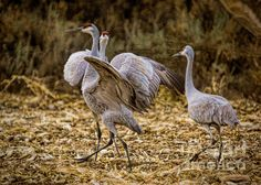 Sandhill Cranes battle for love in a Delta, Colorado Cornfield, this guy reminded me of a 'streaker' running through the field!