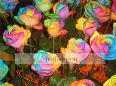 Online Cheap Colourful Rainbow Rose Seeds Purple Red Black White Pink Yellow Green Blue Rose Seeds Plant/Garden Beautiful Flower Seeds By Huifangzou | Dhgate.Com