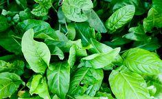sorrel leaves