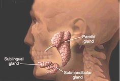 You have three pairs of major salivary glands — parotid, sublingual and submandibular. Each gland has its own tube (duct) leading from the gland to the mouth. Salivary Gland Infection, Parotid Gland, Muscles Of The Face, Molar Tooth, Facial Nerve, Carotid Artery, Cranial Nerves, Cancer Facts, Head And Neck