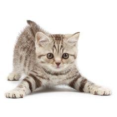muursticker kitten