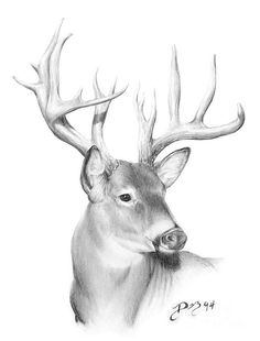 Whitetail Deer Drawing by Larry-DEZ- Dismang