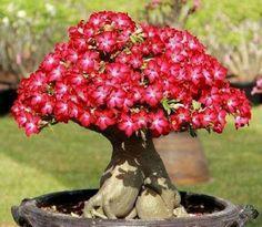 Desert Rose Bonsai (Adenium - rosas do deserto) - These plants naturally grow in… Cacti And Succulents, Planting Succulents, Planting Flowers, Flower Plants, Plantas Bonsai, Desert Rose Plant, Miniature Trees, Bonsai Garden, Exotic Plants