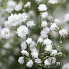 Gypsophila Paniculata (Baby's Breath) White – Easy To Grow Bulbs Tiny Flowers, Fresh Flowers, White Flowers, White Roses, Baby's Breath Plant, Easy To Grow Bulbs, Babys Breath Flowers, Moon Garden, Garden Bed